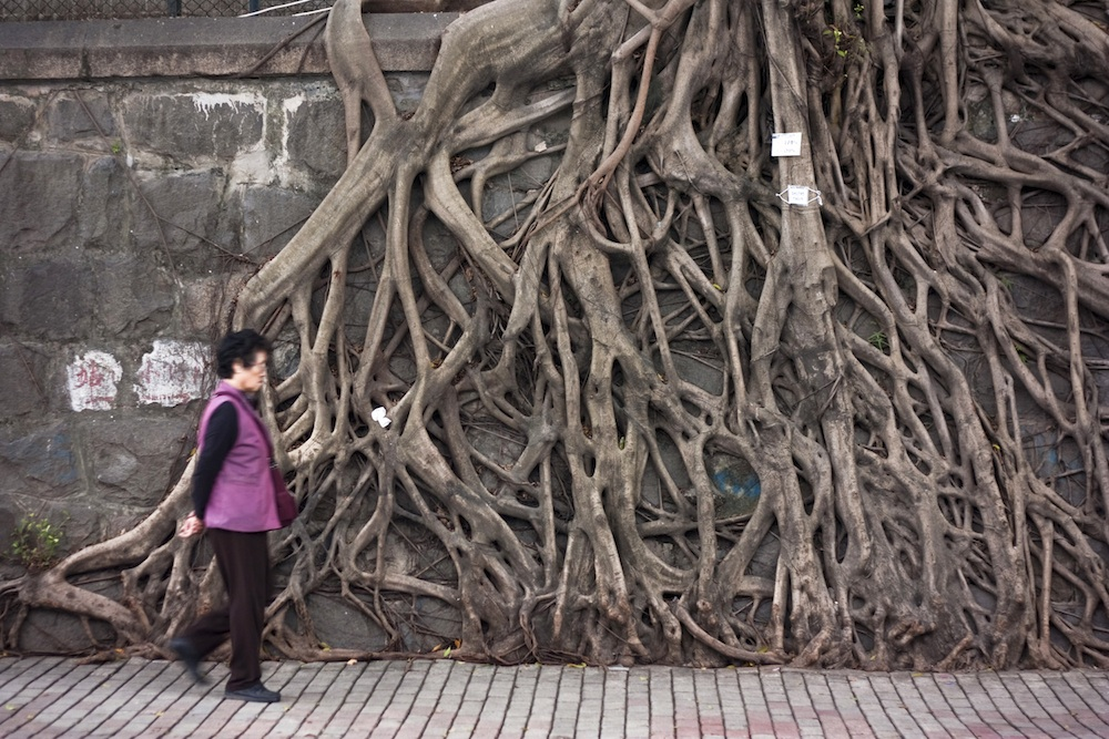 Banyan tree roots on Forbes Street. copy