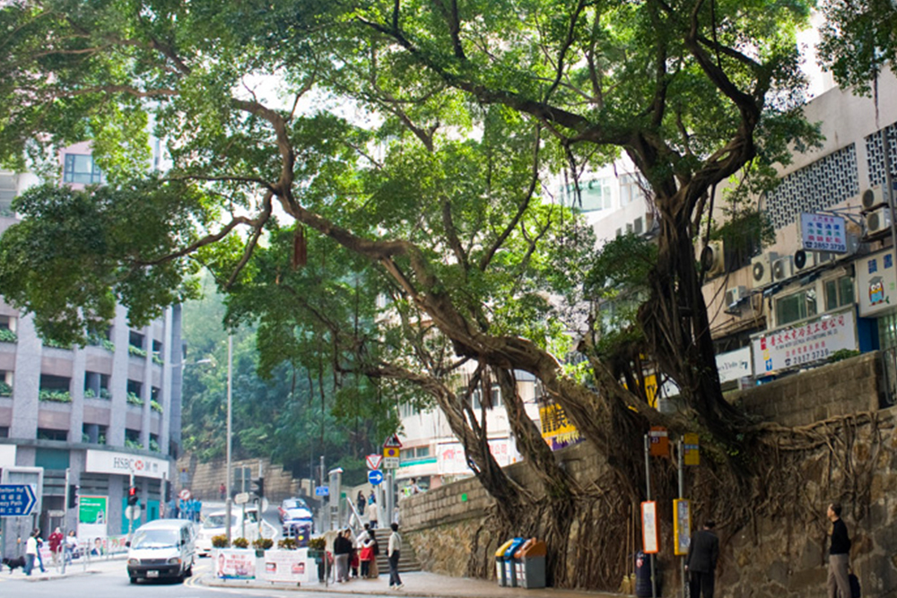 Bonham Road banyan trees - chopped down in 2015